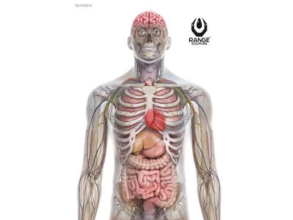 The human torso, more or less - there's the vitals.